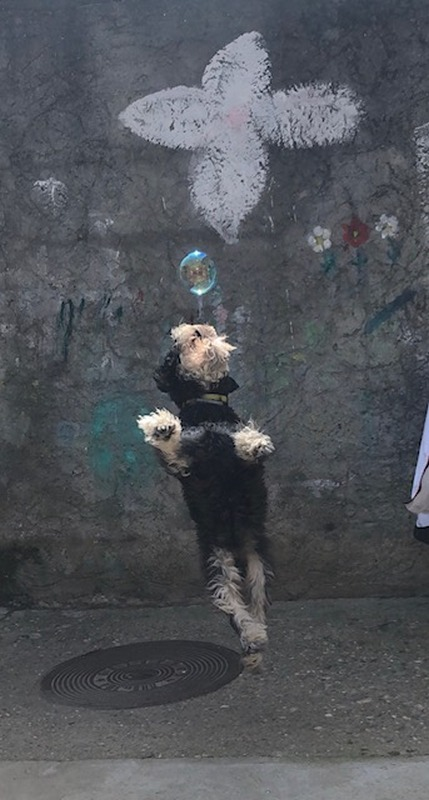 Jodi, šnaucer, 2 godine, Beograd